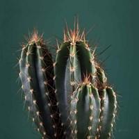Cacti IV Framed Print