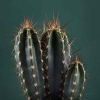 Cacti III Framed Print