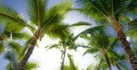 Oahu Palms Fine Art Print