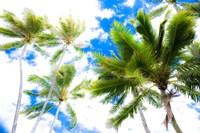 Hawaii Oahu Palms Fine Art Print