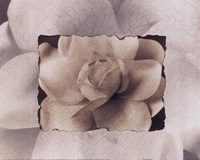Gardenia Fine Art Print
