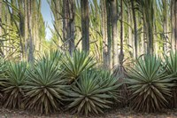 Sisal Plants Fine Art Print