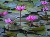 Pink Water Lilies Fine Art Print