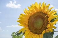 Sunflowers Blooming Near Lavender Fields Fine Art Print