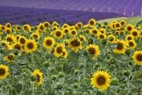 Sunflowers Blooming Near Lavender Fields During Summer Fine Art Print