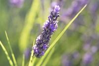 Close-Up Of Lavender Blooms Fine Art Print