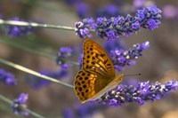 Marbled Butterfly On Valensole Fine Art Print