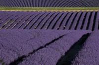 Lavender Fields On Valensole Plain, Provence, Southern France Fine Art Print