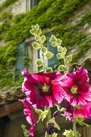 Hollyhocks Flowers Blooming In Provence Fine Art Print