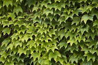 Natural Plants And Leaves Growing On Wall In Provence Fine Art Print