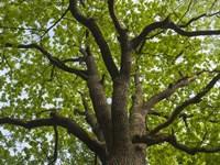 Giant Oak Hainich Woodland In Thuringia, Germany Fine Art Print