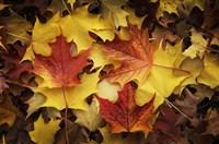 Maples Leaves In Autumn Fine Art Print