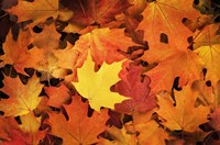 Red, Orange And Yellow Maples Leaves In Autumn Fine Art Print