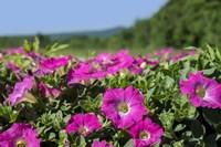 Pink Petunias, New England Fine Art Print
