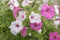 Pink And White Petunias Fine Art Print