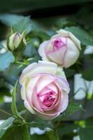 Pink Pierre De Rosard, Eden, Heirloom Roses Fine Art Print
