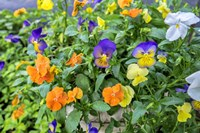 Pansies With Morning Dew Fine Art Print