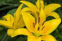 Yellow Daylily Fine Art Print