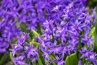 Purple Hyacinth Fine Art Print