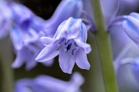 English Wood Hyacinth 1 Fine Art Print