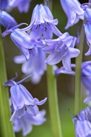 English Wood Hyacinth 2 Fine Art Print
