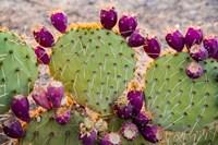 California Prickly Pear Cactus Fine Art Print