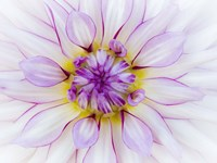 Purple & White Dahlia Framed Print