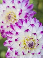 Pair Of Dahlias Fine Art Print
