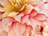 Peach Dahlia Framed Print