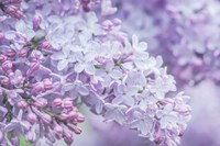 Lilac Close-Up Framed Print