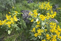 Balsamroot Covering Hillsides In The Spring Fine Art Print