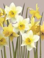 Spring Daffodils Fine Art Print