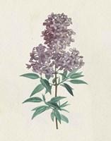 Victorian Garden Flowers III Framed Print