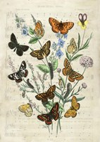 European Butterflies, After Kirby Fine Art Print