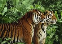 Two Bengal Tigers Fine Art Print