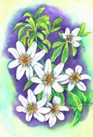 Clematis Panaculata Fine Art Print