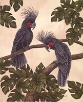 Black Palm Cockatoos Fine Art Print