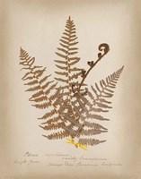 Ferns in Book IV Framed Print