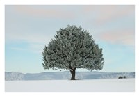Frosted Pine Fine Art Print