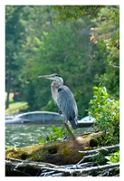 Heron on Lake George Framed Print