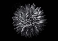 Backyard Flowers In Black And White 20 Framed Print