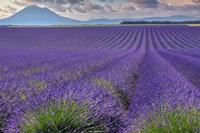 Lavender Fields Provence Framed Print