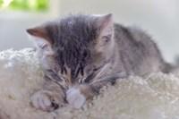 Sleeping Kitten Fine Art Print