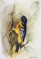 Oriole Fine Art Print