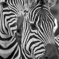 Zebra 2 Fine Art Print
