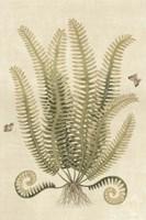 Ferns in Antique III Framed Print