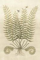 Ferns in Antique IV Framed Print