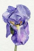 Iris in Bloom II Framed Print