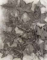 Sweet Gum Leaves Fine Art Print