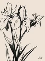 Iris Sketch III Framed Print